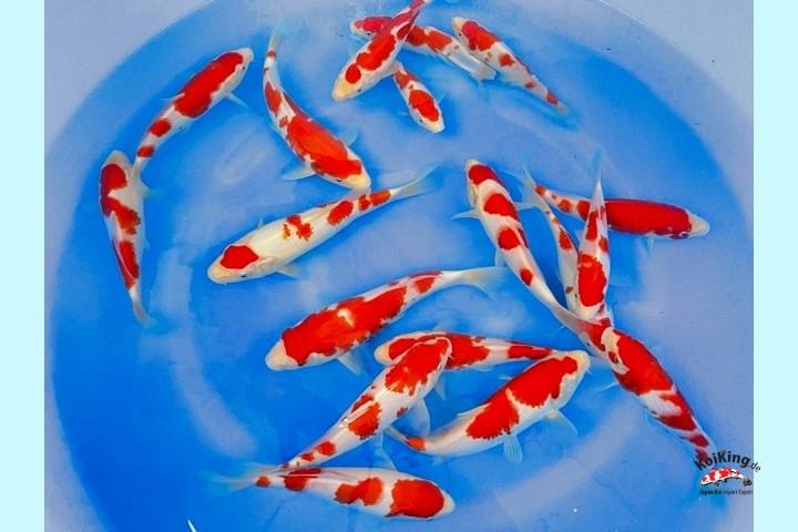 Tosai Kohaku HOKI-001