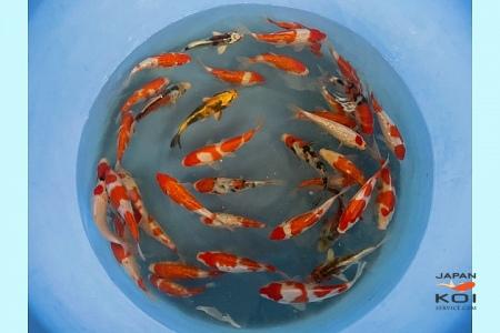 Tosai Kohaku, GR Kohaku, Sanke, D Sanke, Few Kujaku, Few Shusui, Few KK Utsuri